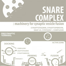 SNARE Complex Infographic