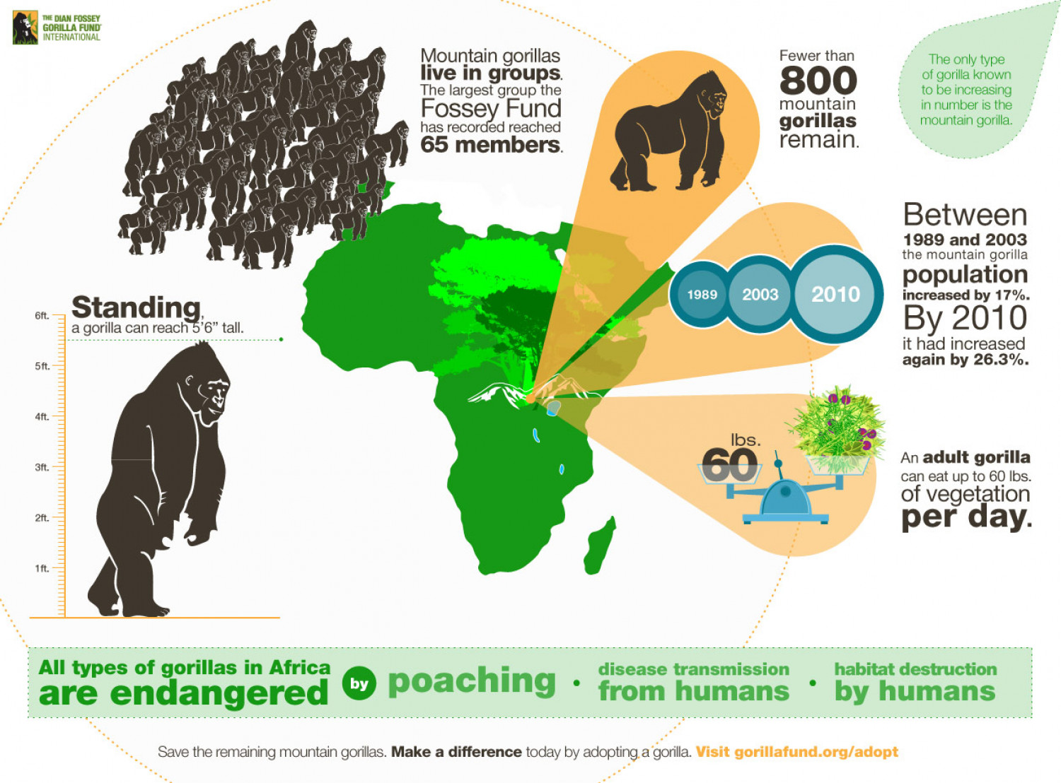 All Types of Gorillas in Africa are Endangered  Infographic