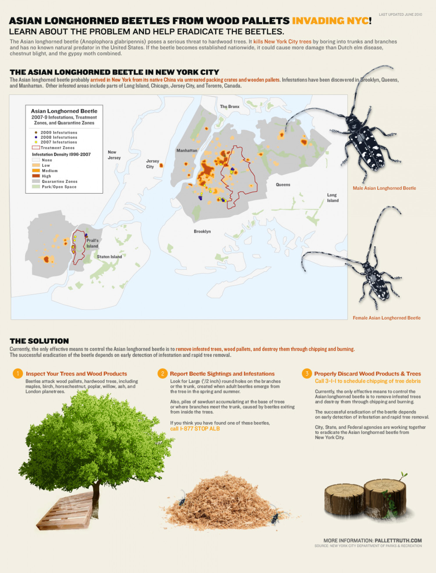 ASIAN LONGHORNED BEETLE KILLING NEW YORK CITY TREES Infographic