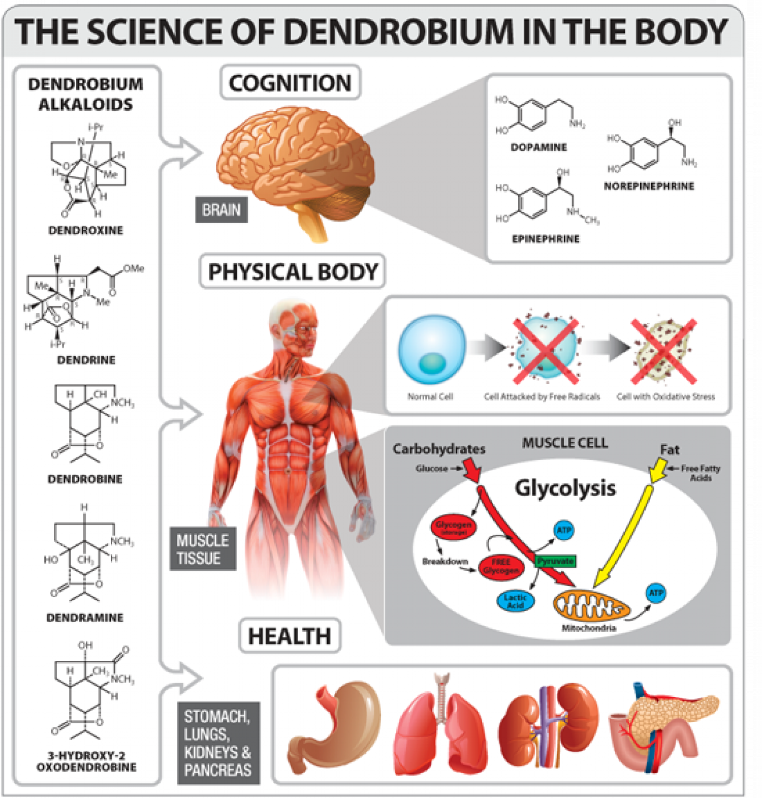 Benefits of Dendrobium for Human Body Infographic