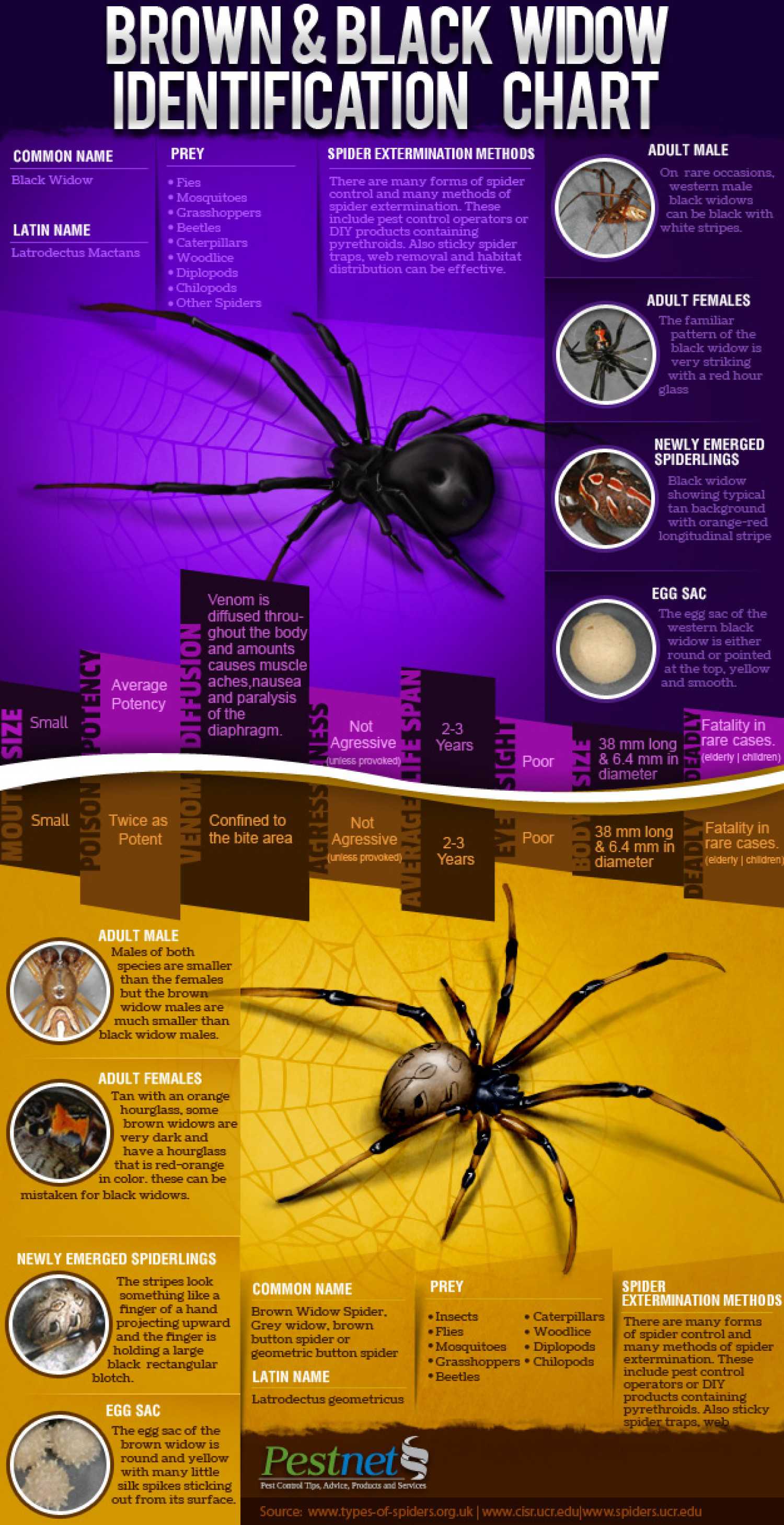Black and brown widow Identification chart  Infographic
