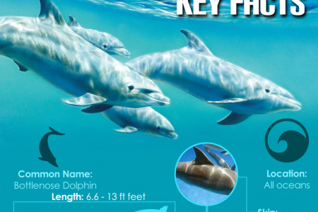 Bottlenose Dolphin Facts Infographic