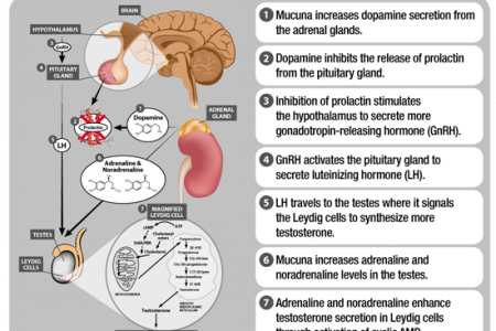 Health benefits of Mucuna Pruriens to Human Health Infographic