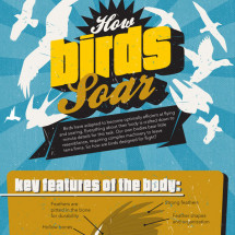 How Birds Soar Infographic