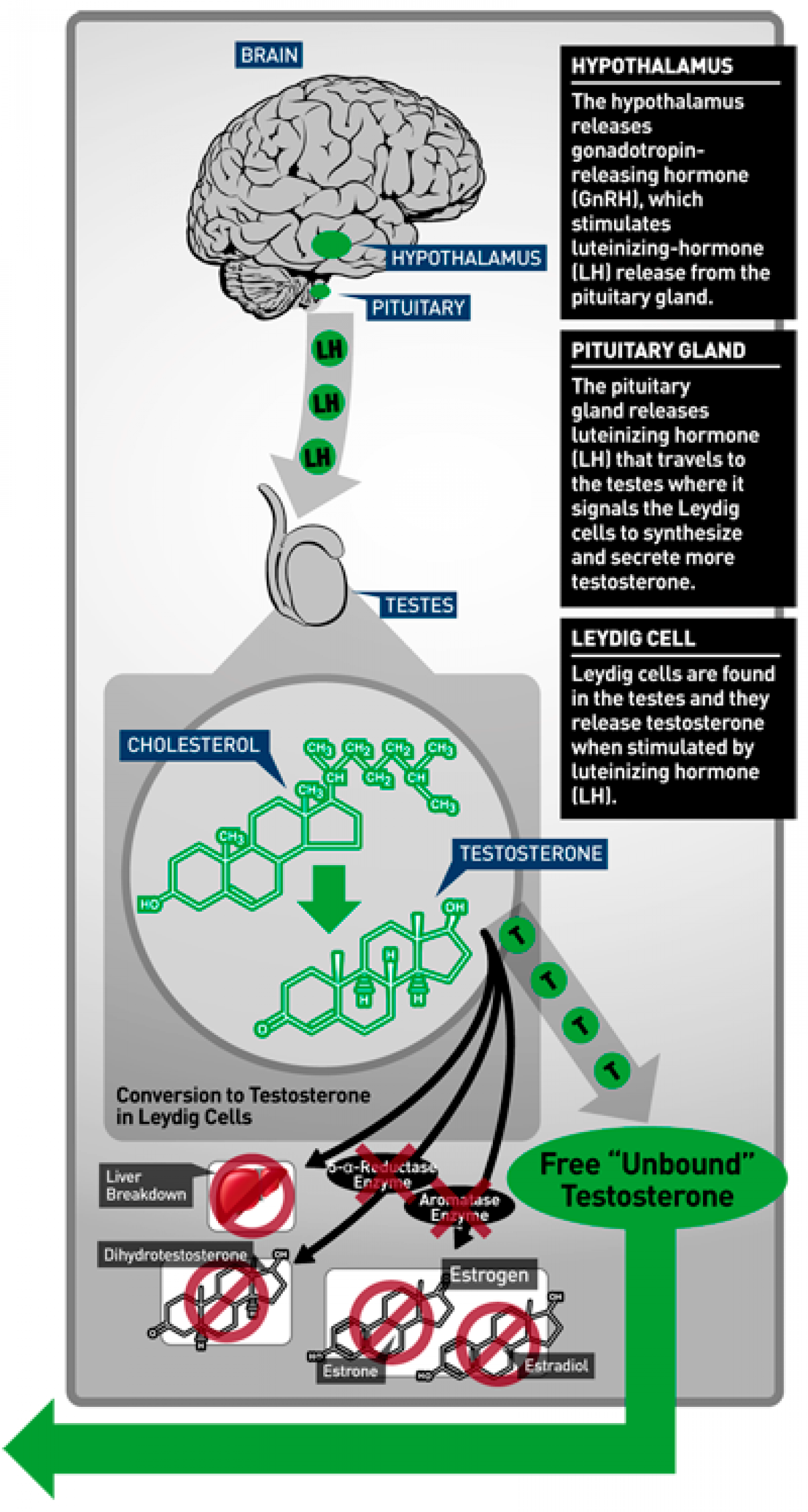 How testosterone secreted in human body Infographic