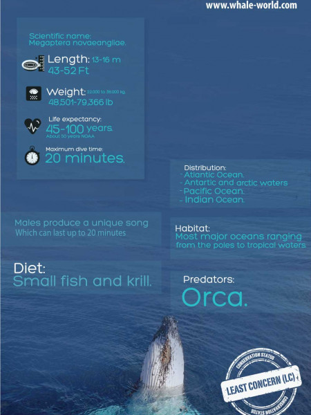 Humpback Whale - Infographic Infographic