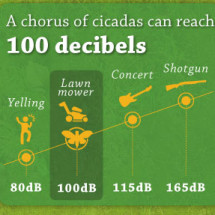 March of the Cicadas  Infographic