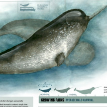 Narwhal: Unicorn of the sea Infographic