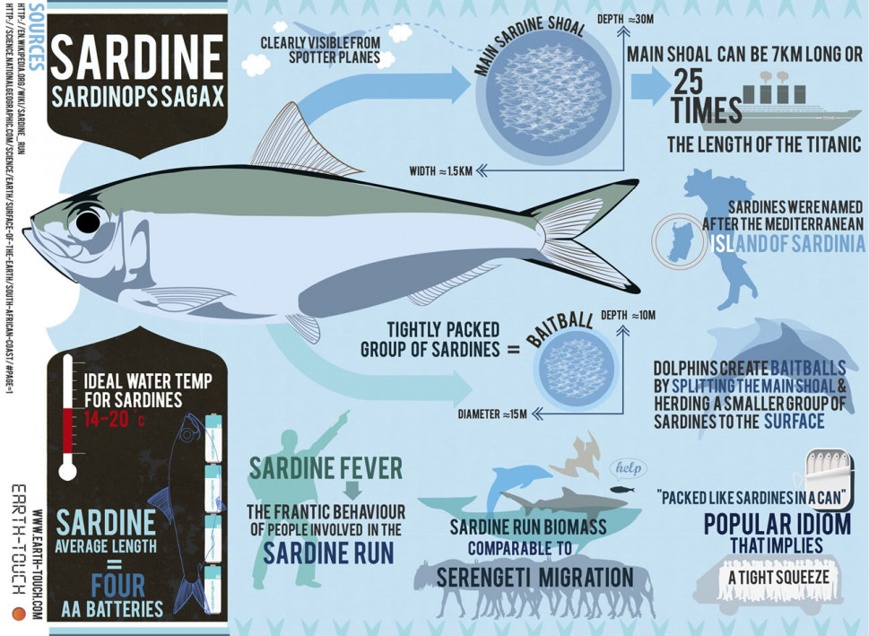 Sardine Run Infographics: The star of the show | Earth-Touch Blog Infographic
