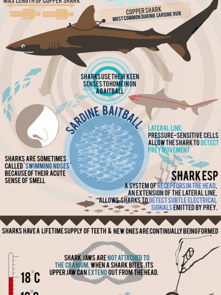 Sardine Run: Track like a shark Infographic