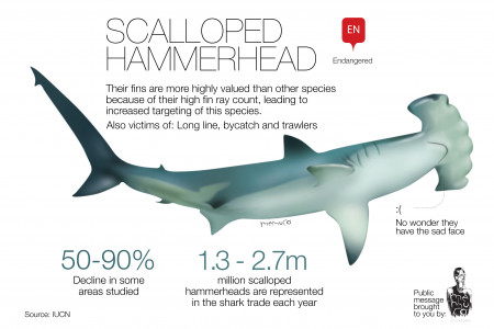 Scalloped Hammerhead Infographic
