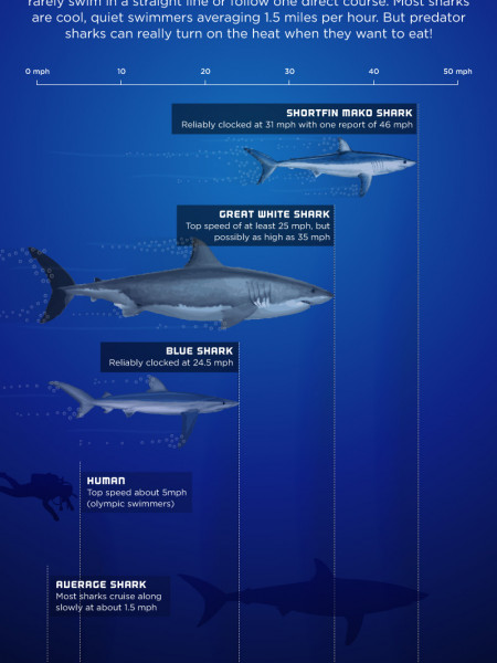 Shark Speed - World's Fastest Sharks Infographic