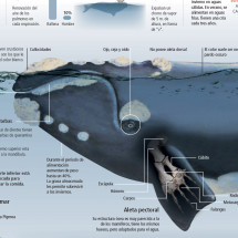 Southern Right Whale Infographic