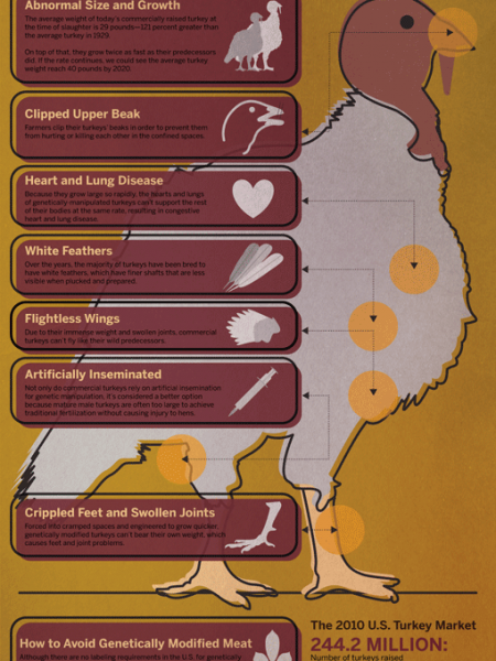 The Anatomy of a Genetically Modified Turkey  Infographic