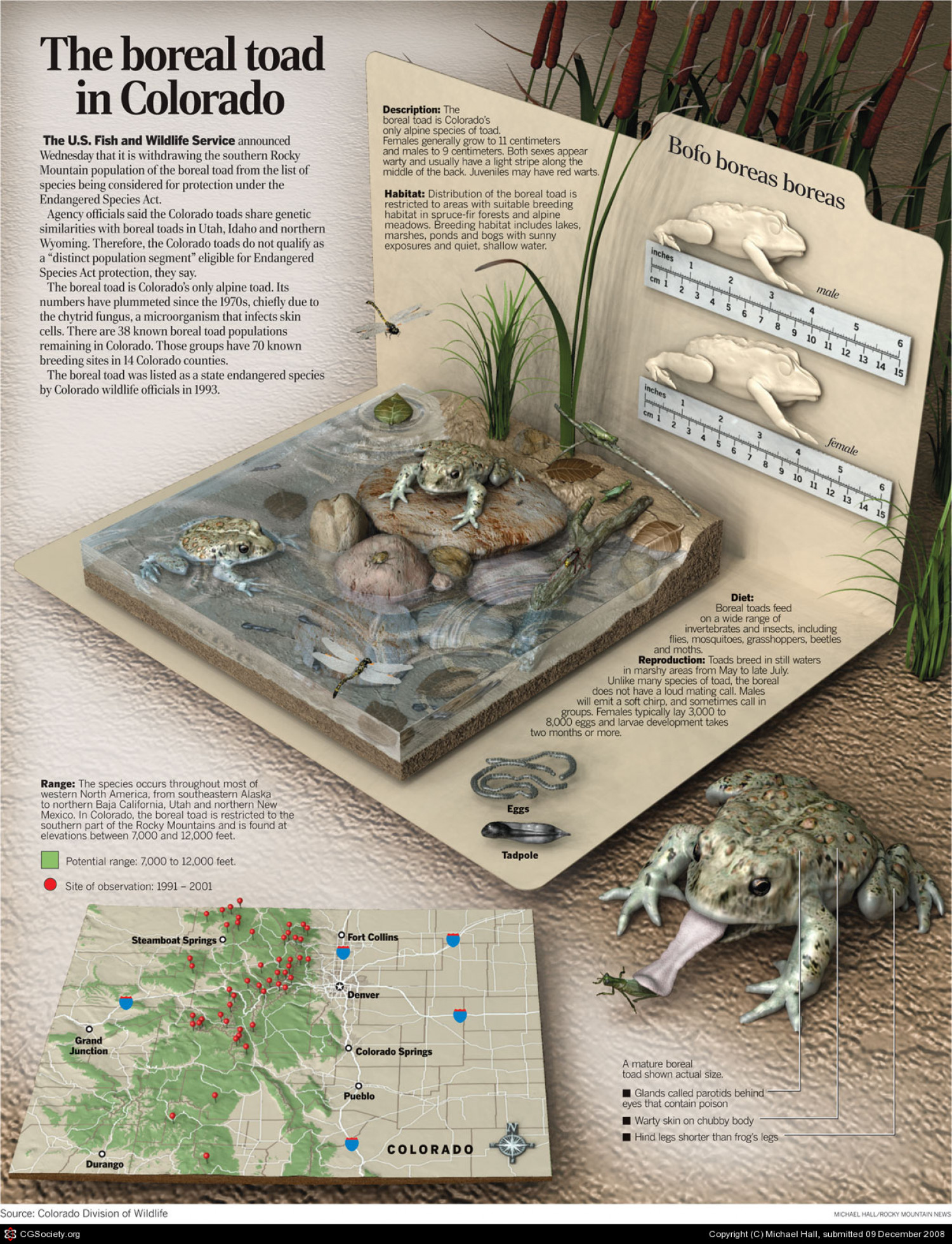 The Boreal Toad in Colorado Infographic