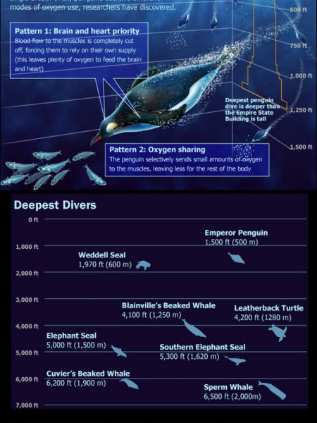 The Ocean's Deepest Divers Infographic