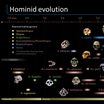 Timeline of hominid evolution Infographic
