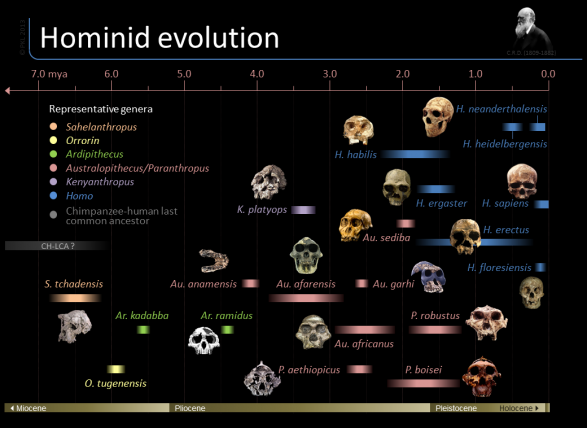 Timeline of hominid evolution