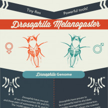 Tiny flies, powerful tools! Infographic