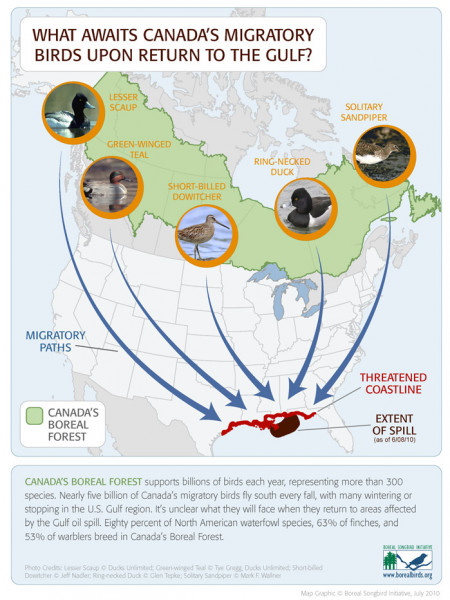 What Awaits Canada's Migratory Birds Upon Returning to the Gulf? Infographic