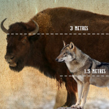 Wolves v Buffalo Infographic